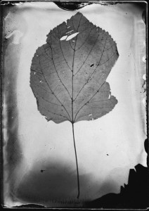 Leaf Tintype by Alice Blanch